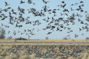 pintails and mallards