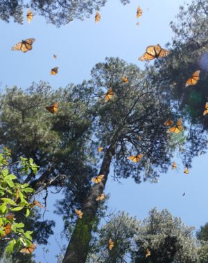 Monarchs in Michoacan hit the air after a winter of hunkering down in the oyamel fir forests. photo by Sara Dykman, Beyond A Book Expeditions.