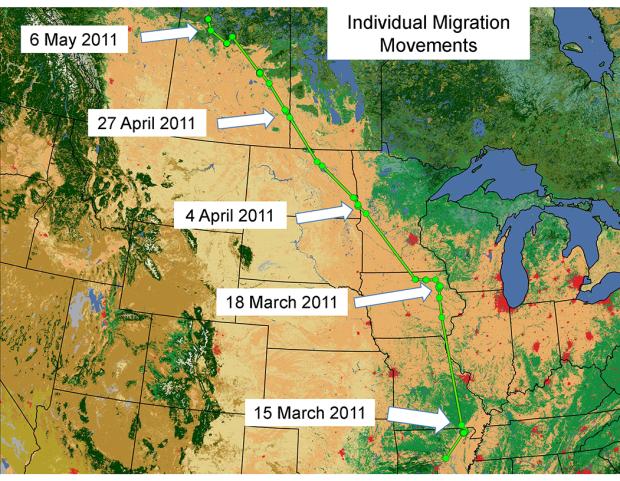 "Mallard Migration Map Follow the River"" – Bird Migrations along the Missouri | Big Muddy"